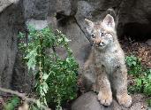 Linx Kitten